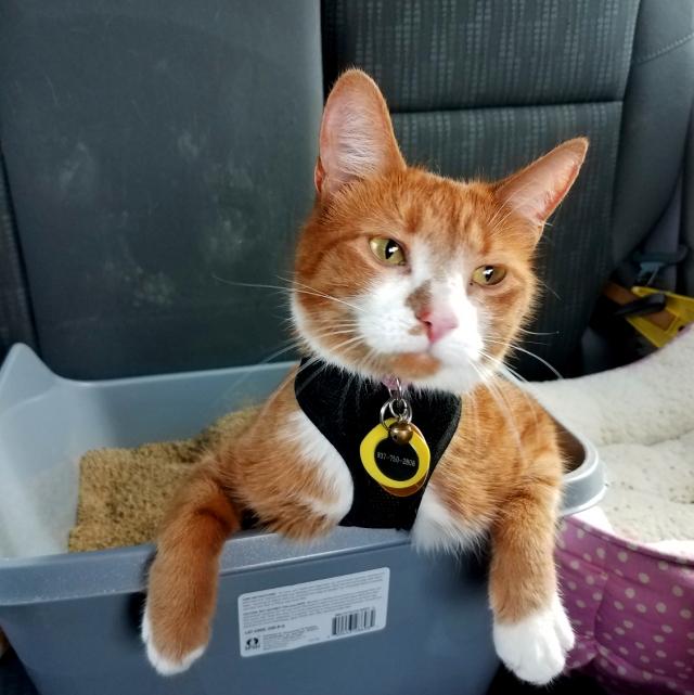 Cat resting in a litter box in a car.