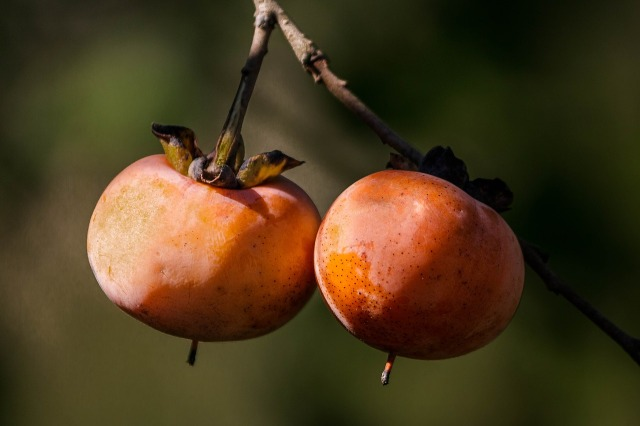 Wild persimmons on a branch.