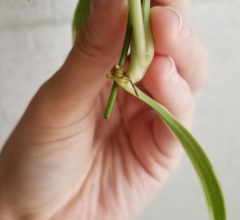 Close-up of spider plant pup root nodes.