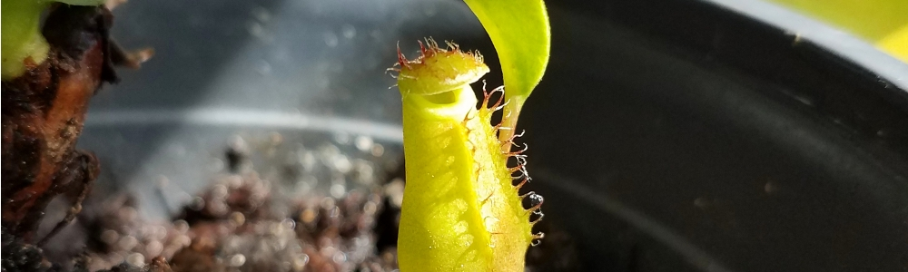 A tiny nepenthes pitcher.