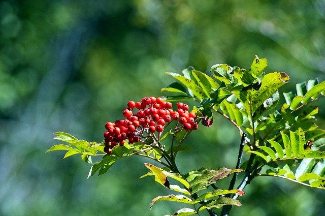 rowan-berries-in-tetons-4054016_640